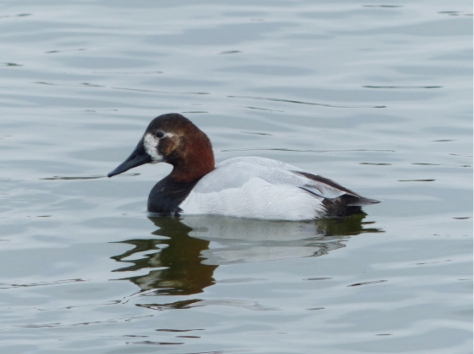2016 04 April Leuistic Canvasback