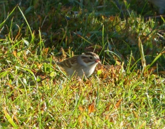 2015 Cape May Clay-colored Sparrow