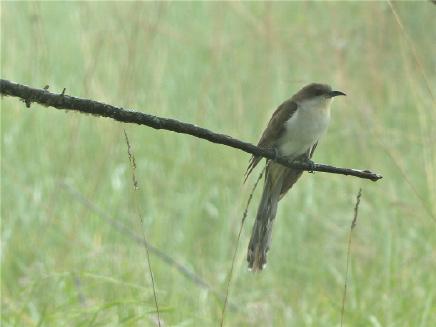 black-blled cuckoo