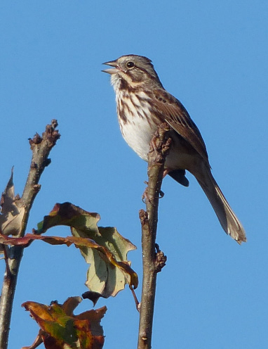 2014 Cape May song sparrow