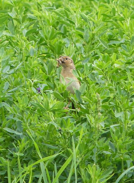 2015 grasshopper sparrow
