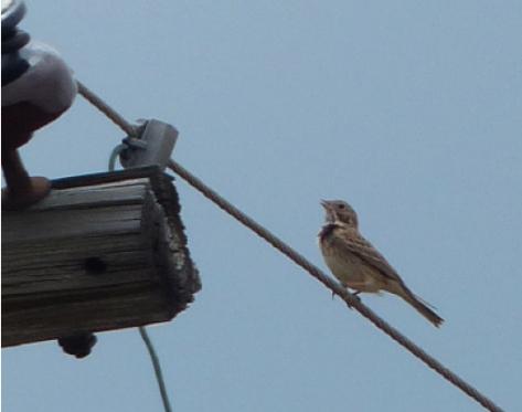 2015 Grassland Vesper Sparrow