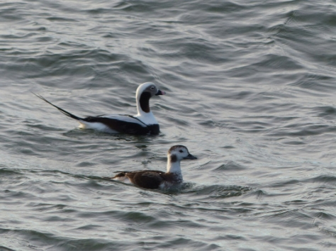 Long-tailed Ducks.jpg