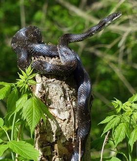 2014 May Count snake.jpg