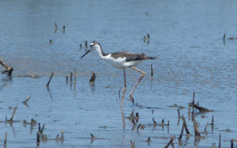 2015 black necked stilt bombay.jpg