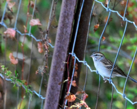2017 trip galloping goose chipping sparrow